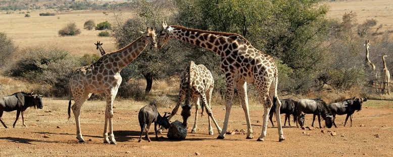 Park Sakinleri - Pilanesberg Ulusal Parkı