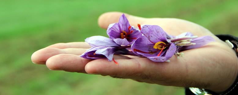 Safran Çiçeği - Safranbolu